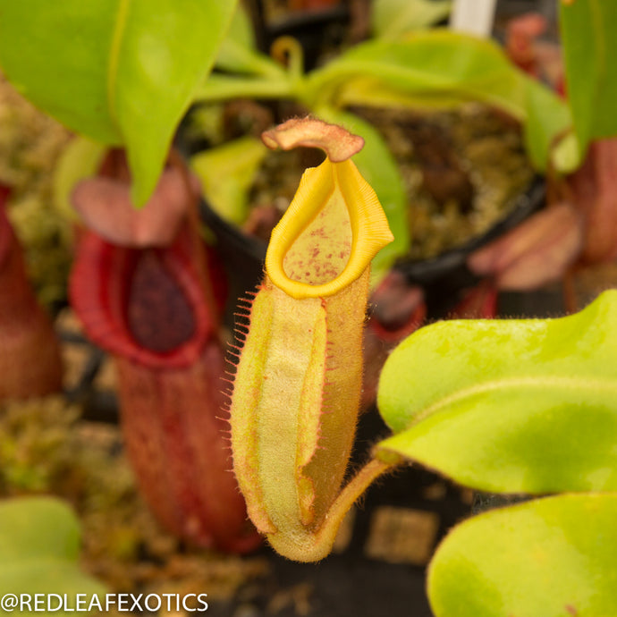 redleaf exotics – nepenthes for sale-1190