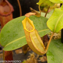 Load image into Gallery viewer, redleaf exotics – nepenthes for sale-1192