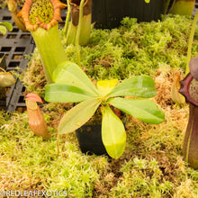 Load image into Gallery viewer, redleaf exotics – nepenthes for sale-1200