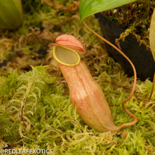 Load image into Gallery viewer, redleaf exotics – nepenthes for sale-1203
