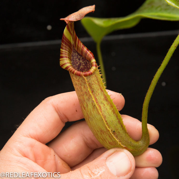 redleaf exotics – nepenthes for sale-22-3