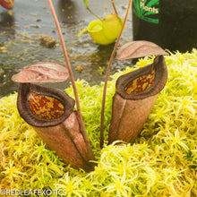 Load image into Gallery viewer, redleaf exotics – nepenthes for sale-2222-2