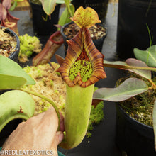 Load image into Gallery viewer, redleaf exotics – nepenthes for sale-2224-4