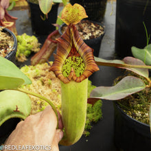 Load image into Gallery viewer, redleaf exotics – nepenthes for sale-2225-4