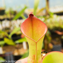 Load image into Gallery viewer, redleaf exotics – nepenthes for sale-2232-2