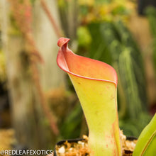 Load image into Gallery viewer, redleaf exotics – nepenthes for sale-2233-2
