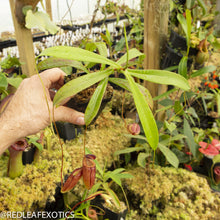 Load image into Gallery viewer, redleaf exotics – nepenthes for sale-2243-2