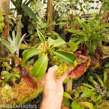 Load image into Gallery viewer, redleaf exotics – nepenthes for sale-2243