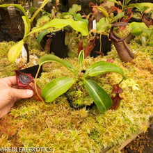 Load image into Gallery viewer, redleaf exotics – nepenthes for sale-2244