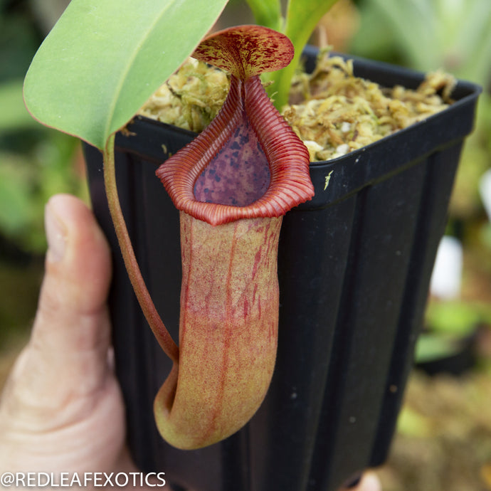 redleaf exotics – nepenthes for sale-2248-2