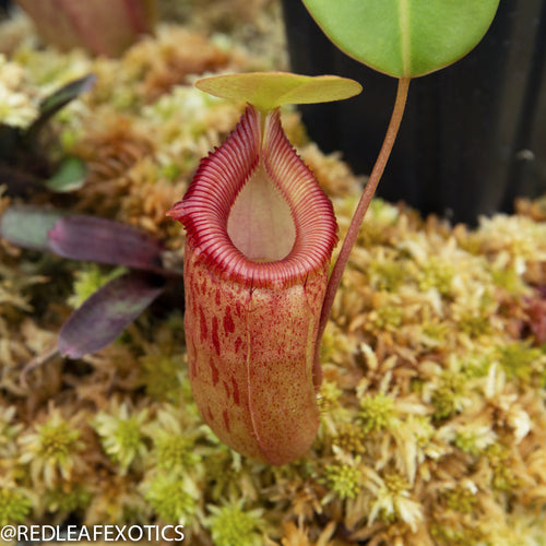 redleaf exotics – nepenthes for sale-2252-2