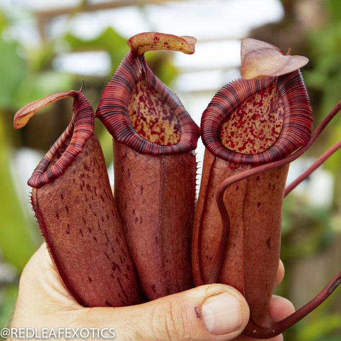 redleaf exotics – nepenthes for sale-2258-2