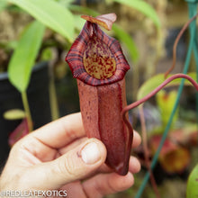 Load image into Gallery viewer, redleaf exotics – nepenthes for sale-2260-2