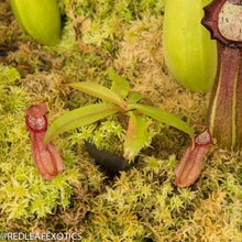 Load image into Gallery viewer, redleaf exotics – nepenthes for sale-2278