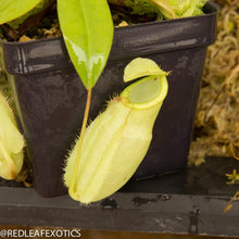 Load image into Gallery viewer, redleaf exotics – nepenthes for sale-2284