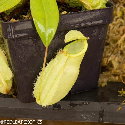 redleaf exotics – nepenthes for sale-2284