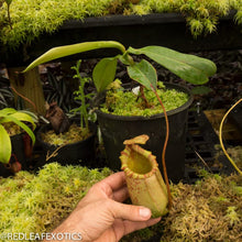 Load image into Gallery viewer, redleaf exotics – nepenthes for sale-2290