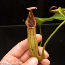 Load image into Gallery viewer, redleaf exotics – nepenthes for sale-23-3