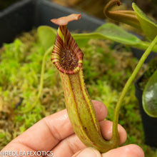 Load image into Gallery viewer, redleaf exotics – nepenthes for sale-24-3