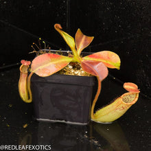 Load image into Gallery viewer, redleaf exotics – nepenthes for sale-26