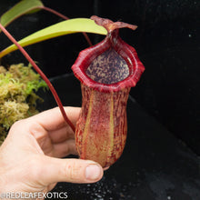 Load image into Gallery viewer, redleaf exotics – nepenthes for sale-30