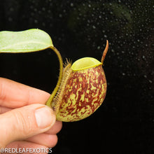 Load image into Gallery viewer, redleaf exotics – nepenthes for sale-30-3