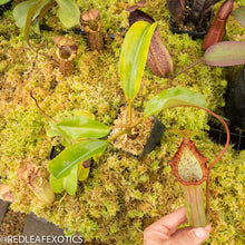 Load image into Gallery viewer, redleaf exotics – nepenthes for sale-31-3