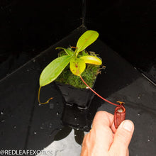 Load image into Gallery viewer, redleaf exotics – nepenthes for sale-318