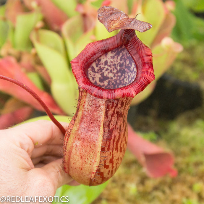 redleaf exotics – nepenthes for sale-32