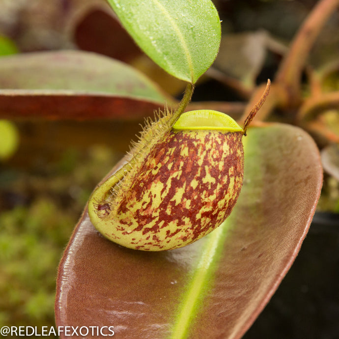 redleaf exotics – nepenthes for sale-33-3