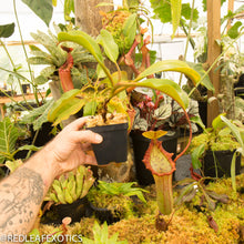 Load image into Gallery viewer, redleaf exotics – nepenthes for sale-33-3