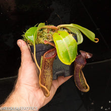 Load image into Gallery viewer, redleaf exotics – nepenthes for sale-344