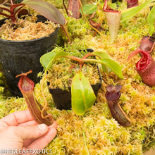 Load image into Gallery viewer, redleaf exotics – nepenthes for sale-345