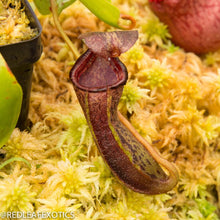Load image into Gallery viewer, redleaf exotics – nepenthes for sale-346