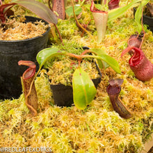 Load image into Gallery viewer, redleaf exotics – nepenthes for sale-348