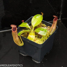 Load image into Gallery viewer, redleaf exotics – nepenthes for sale-350