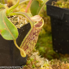 Load image into Gallery viewer, redleaf exotics – nepenthes for sale-357