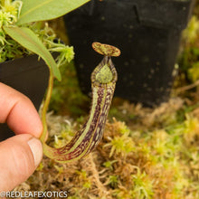 Load image into Gallery viewer, redleaf exotics – nepenthes for sale-367