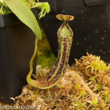 Load image into Gallery viewer, redleaf exotics – nepenthes for sale-368