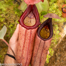 Load image into Gallery viewer, redleaf exotics – nepenthes for sale-37-2