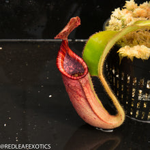 Load image into Gallery viewer, redleaf exotics – nepenthes for sale-38-2