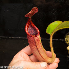 Load image into Gallery viewer, redleaf exotics – nepenthes for sale-39-2