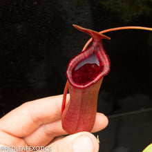 Load image into Gallery viewer, redleaf exotics – nepenthes for sale-39-3