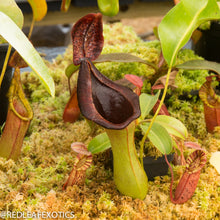 Load image into Gallery viewer, redleaf exotics – nepenthes for sale-4-3