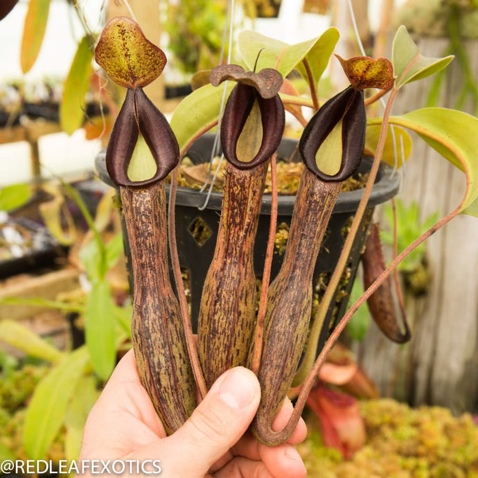 redleaf exotics – nepenthes for sale-42