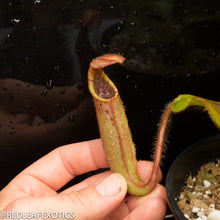 Load image into Gallery viewer, redleaf exotics – nepenthes for sale-45-2