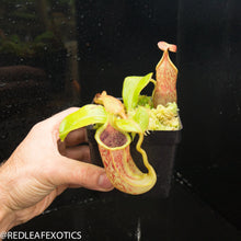 Load image into Gallery viewer, redleaf exotics – nepenthes for sale-48