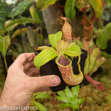 Load image into Gallery viewer, redleaf exotics – nepenthes for sale-49