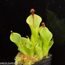 Load image into Gallery viewer, redleaf exotics – nepenthes for sale-517