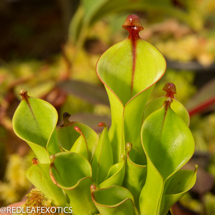 redleaf exotics – nepenthes for sale-519
